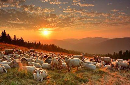 owce-janusz-szyma